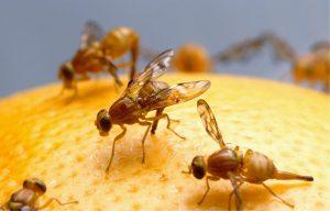 sposoby na muszki owocowe w kuchni